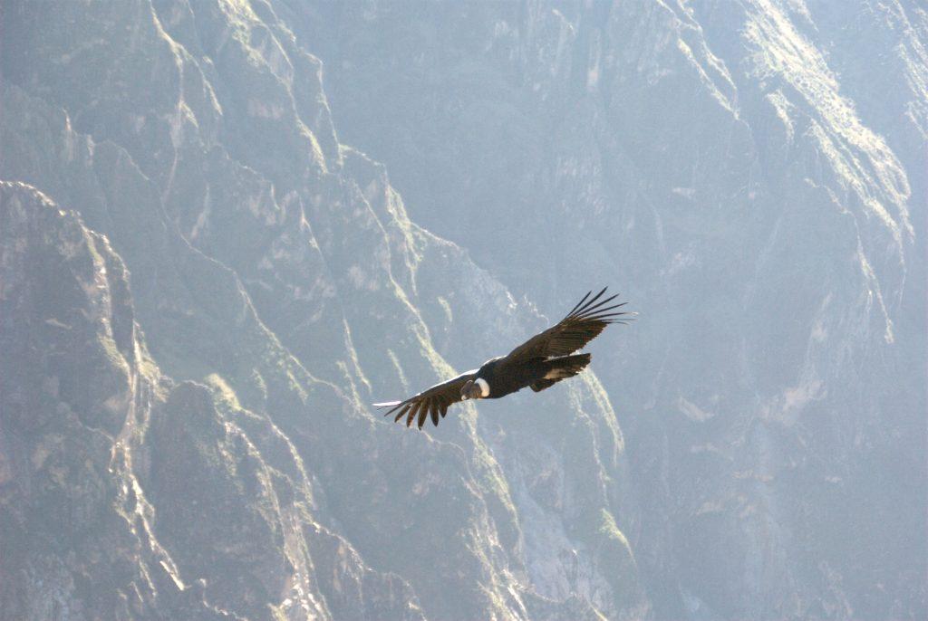 Andean Condor Colca Peru