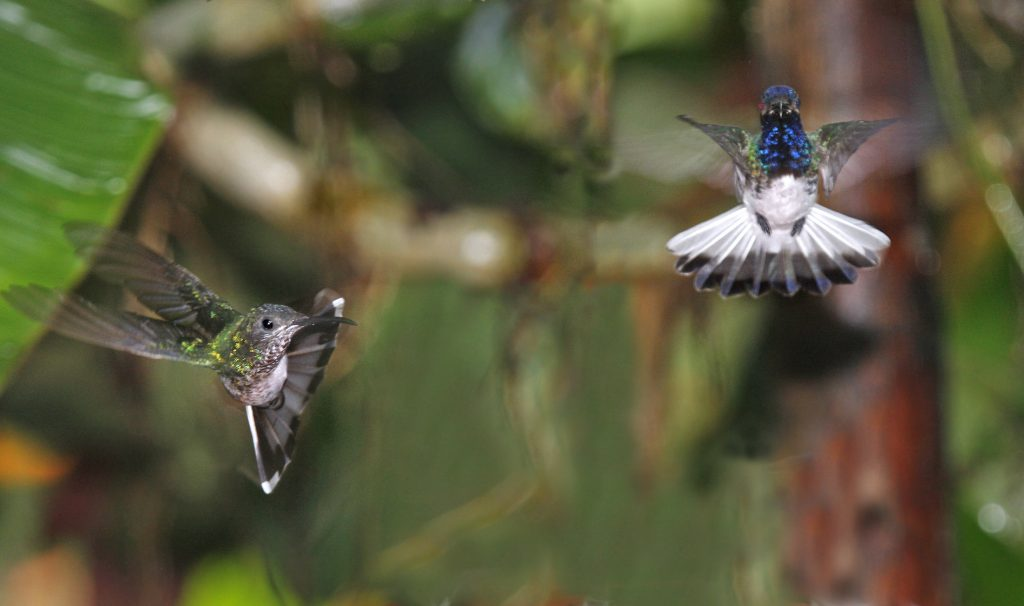 Hummingbirds in flight Ecuador
