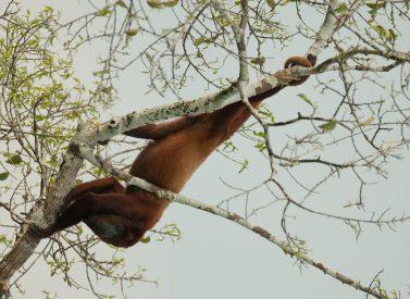 Red Howler Monkey Sacha Amazon Ecuador